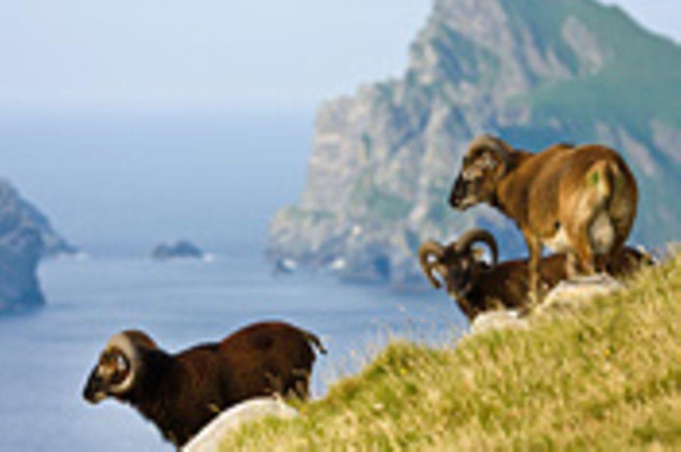 Schottland: Rätsel der schrumpfenden Schafe gelöst