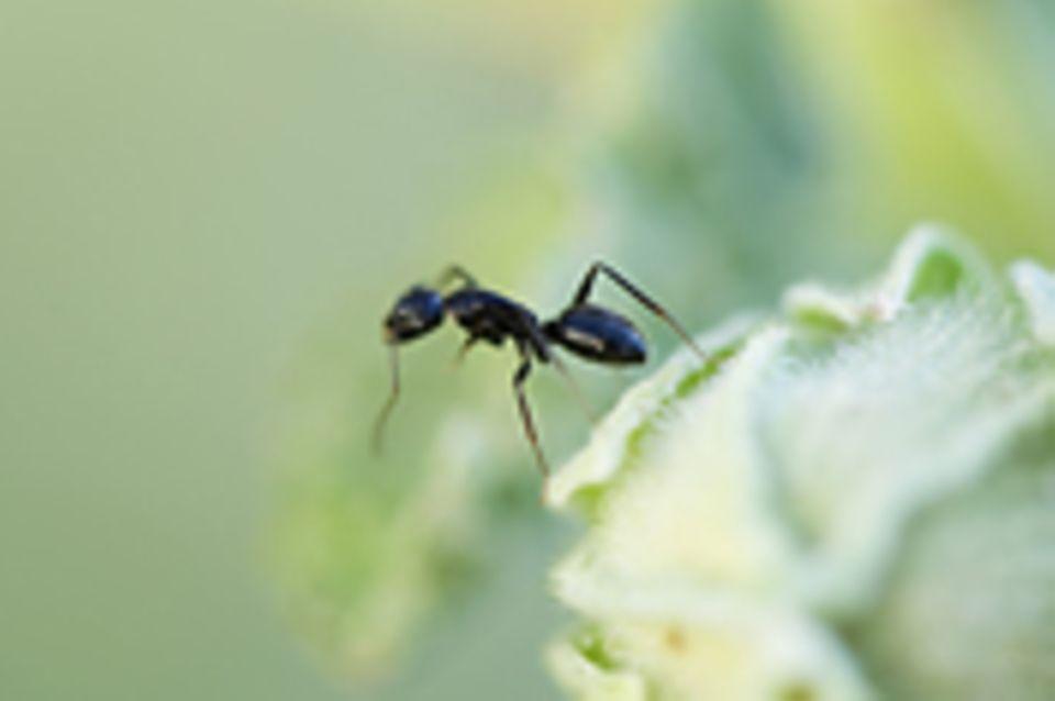 Invasive Arten: Südamerikanische Ameise erobert die Welt