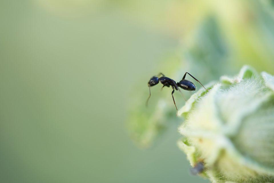 Klein, aber gefährlich: Die Argentinische Ameise bringt ganze Ökosysteme in Bedrängnis