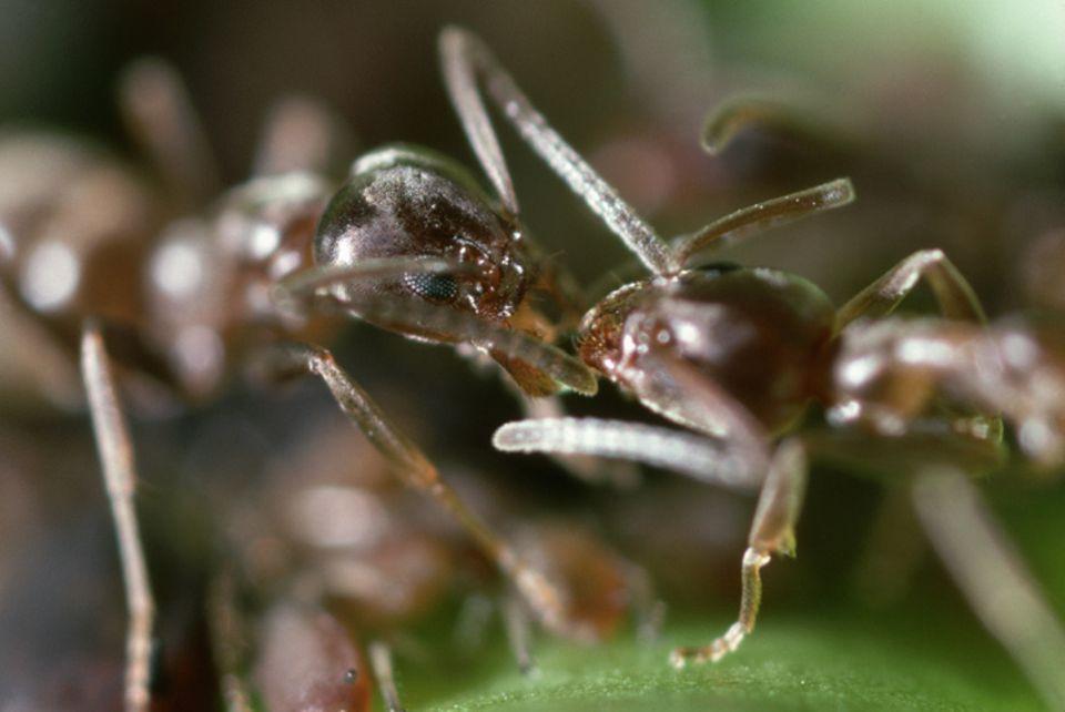 Freund oder Feind? - Ameisen erkennen sich am Geruch