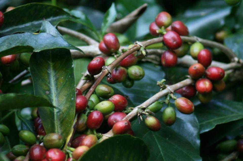 Äthiopien: Rote und grüne Kaffeekirschen an einem Kaffeestrauch