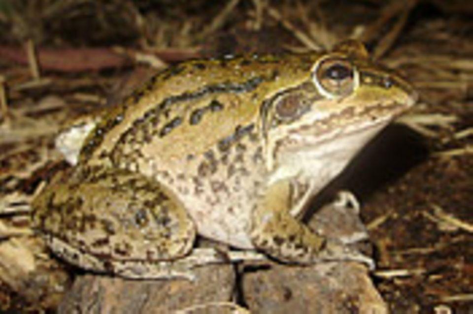 Überlebensstrategien: Frosch überlebt jahrelang ohne Nahrung