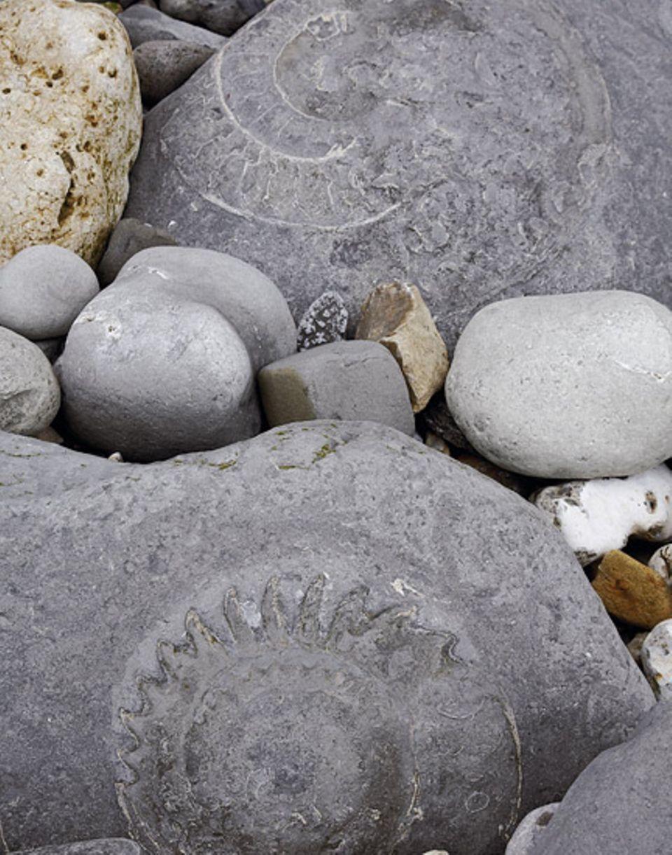 Freizeitforscher entdeckten einen riesigen Ammoniten, ein schneckenförmiges Fossil