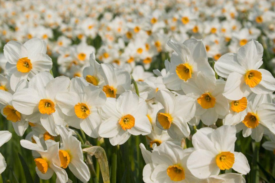 Kurz vor Ostern ist die Hochzeit der Narzissenernte auf St. Martin, einer kleinen Insel der Isles of Scilly. Beliebt sind sowohl die gelben als auch die zarten weißen Narzissen
