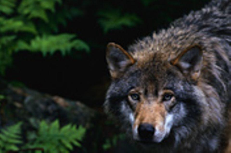 Wolf auf Wanderschaft