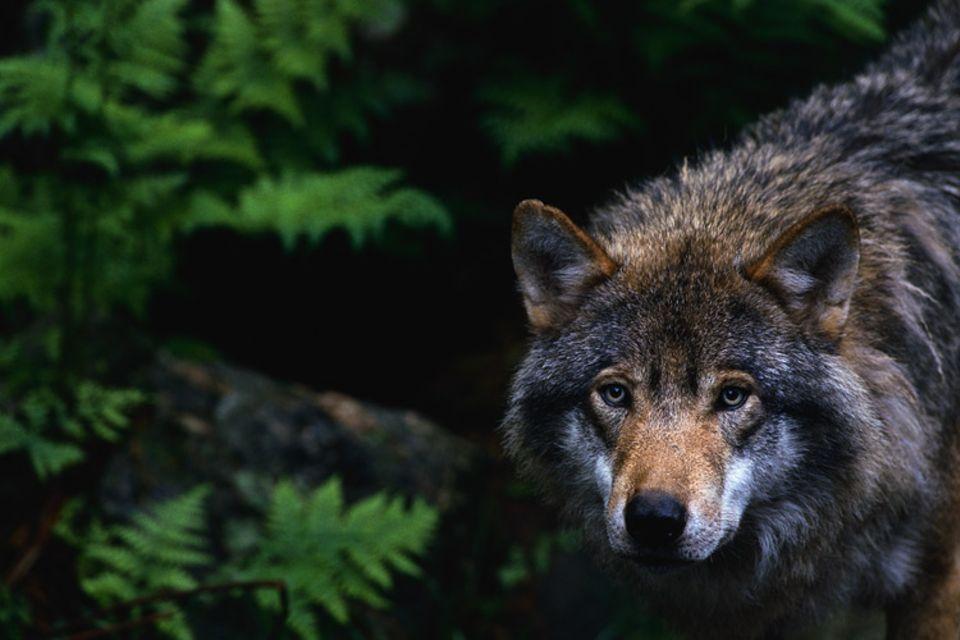 Nur selten zeigen sich die scheuen Tiere. Vor allem im Schutz der Dunkelheit legen Wölfe Hunderte von Kilometern zurück