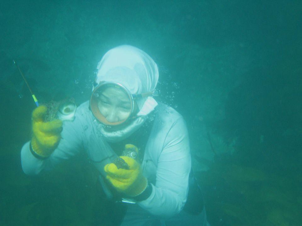 """Die Ama suchen nach Mollusken wie """"Awabi"""" - das kostbare Seeohr. Nur erfahrene Ama schaffen es, die Schnecke aufzuspüren"""