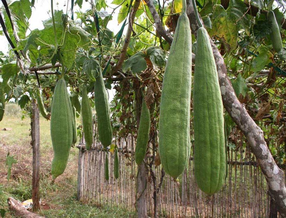Luffagurken wachsen in Paraguay wild oder wie hier in angelegten Kulturen