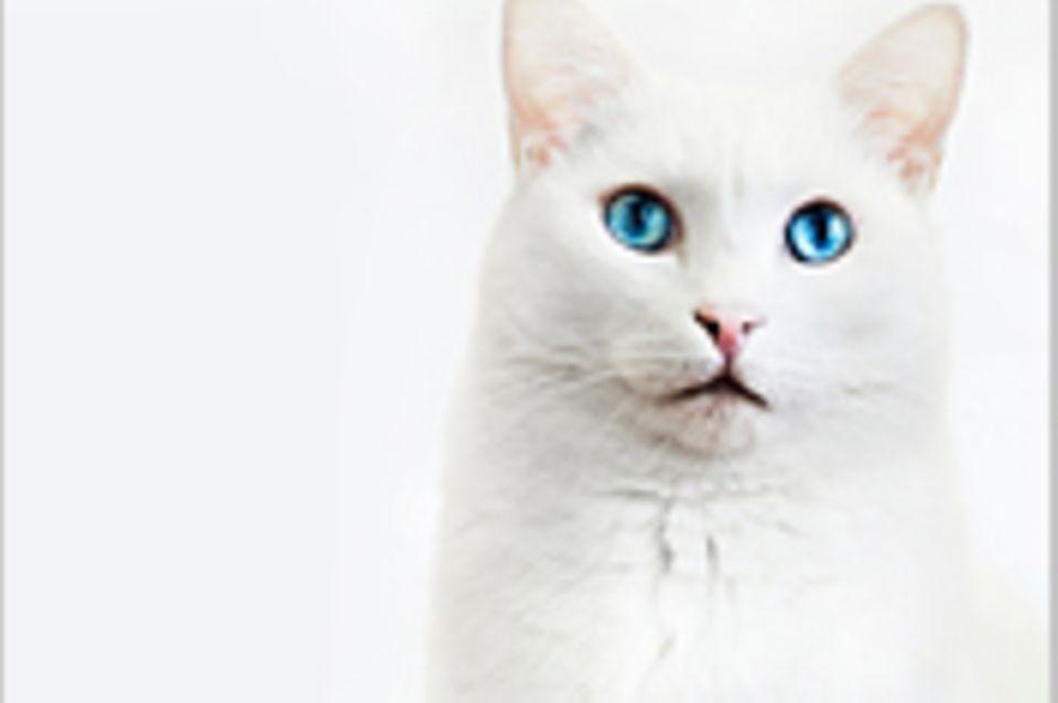 Puzzle: Weiße Katze