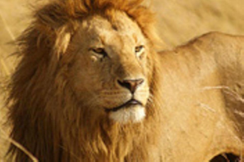 Schiebepuzzle: Nr. 156: Masai Mara