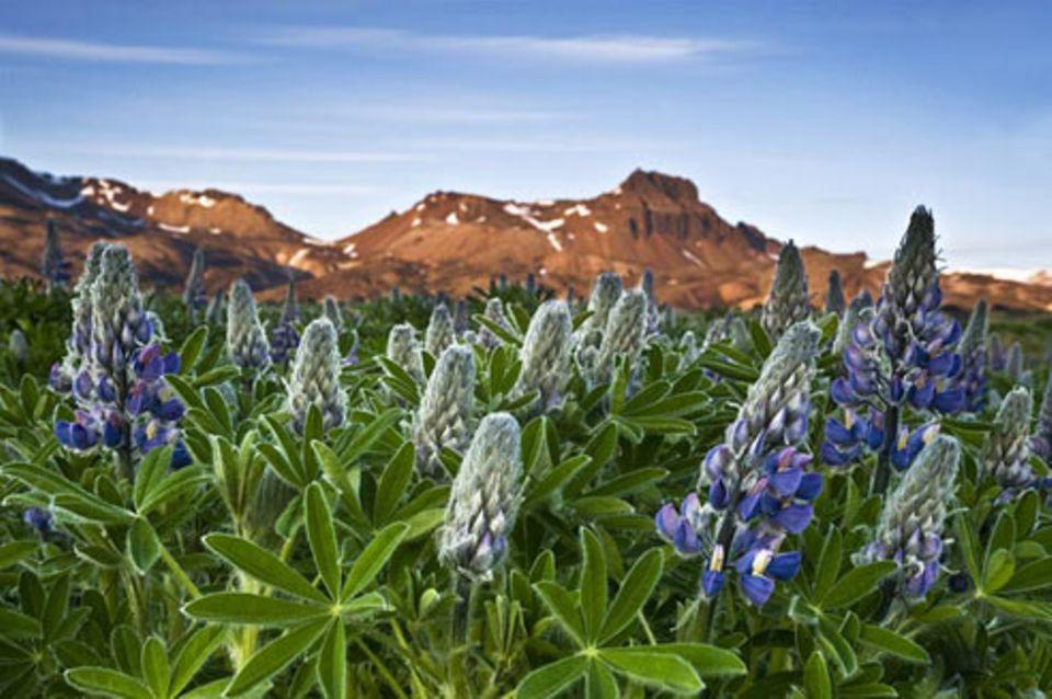 Schiebepuzzle: Nr. 163: Lupinen auf Island
