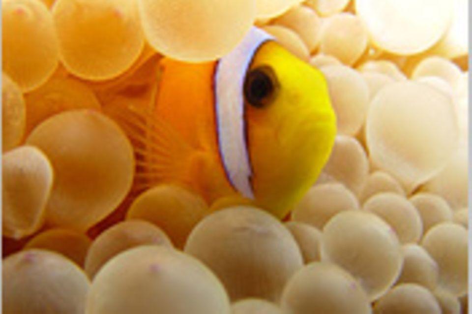 Nr. 167: Clownfisch