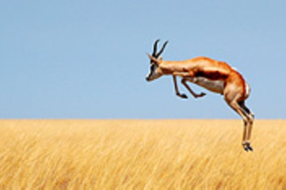 Schiebepuzzle: Nr. 176: Spingbock in Namibia