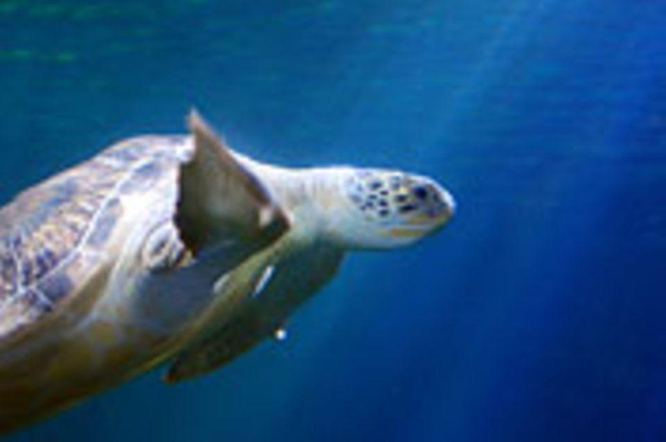 Schiebepuzzle: Schildkröte