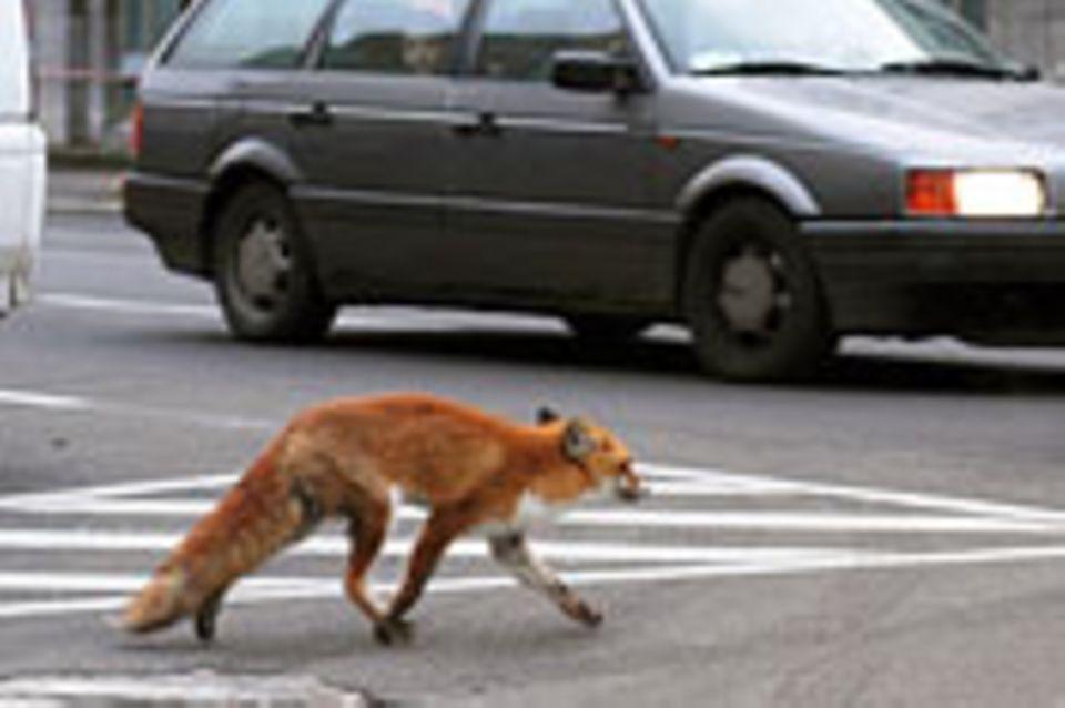 Wildtiere erobern die Stadt