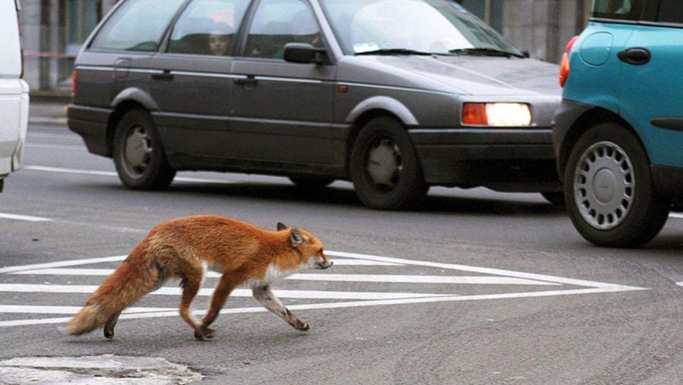 Mancherorts gehören Wildtiere schon zum Stadtbild - wie dieser Fuchs, gesehen in Berlin