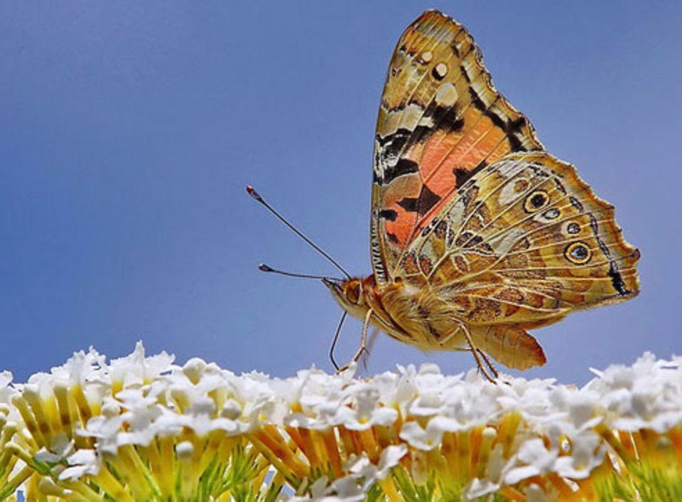 Nr. 183: Schmetterling