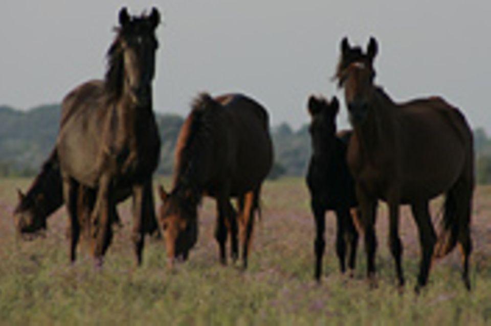 Wilde Pferde im Donaudelta