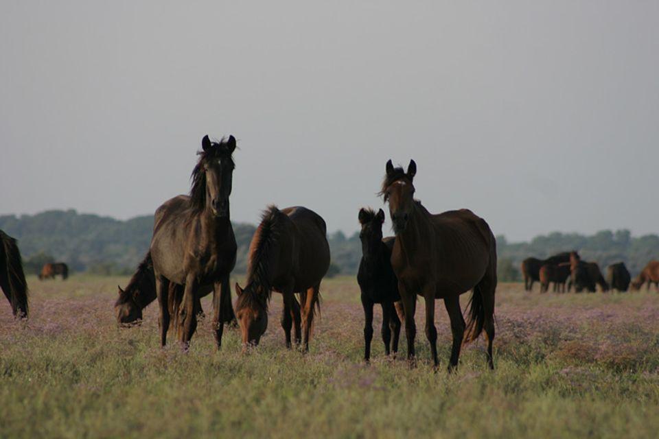 Die Geschichte der Wildpferde im Donaudelta begann im Jahre 1989 mit der rumänischen Revolution und dem Zerfall der sozialistischen Landwirtschaft. Als die Kolchosen schlossen, nahmen Dorfbewohner einige Pferde auf, andere wurden auf den nah gelegenen Wiesen freigelassen