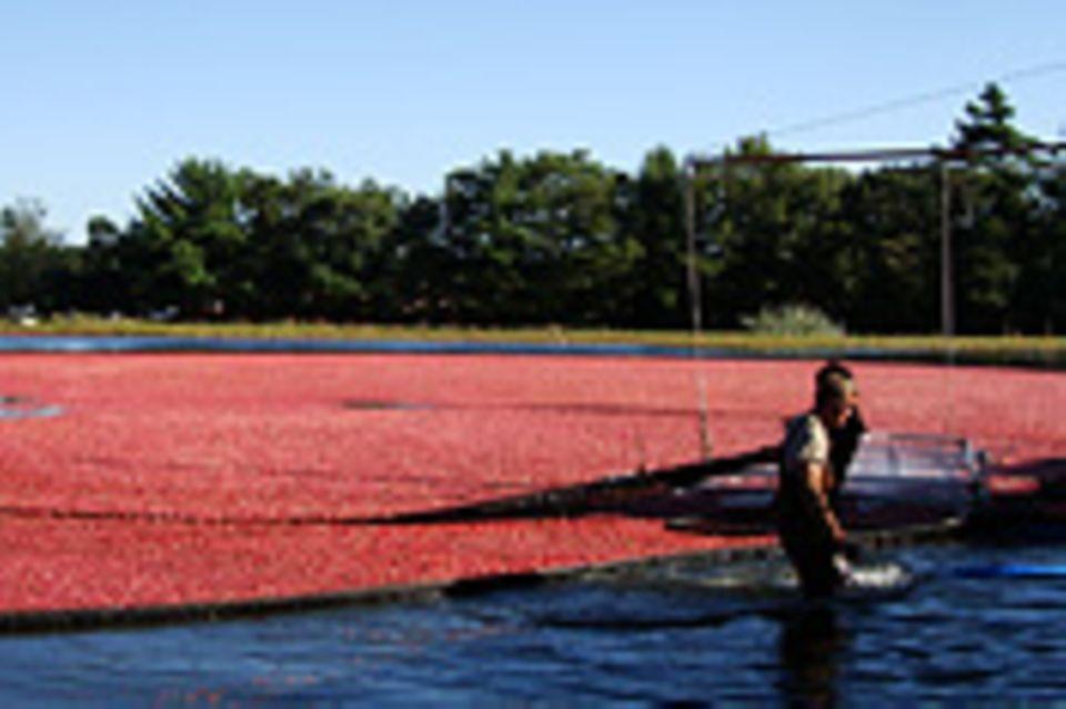 Cranberrysaison auf Cape Cod