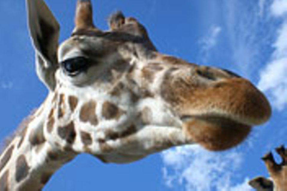 Schiebepuzzle: Giraffe