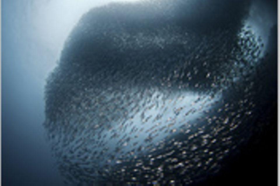 Schiebepuzzle: Nr. 208: Sardinenschwarm auf den Philippinen