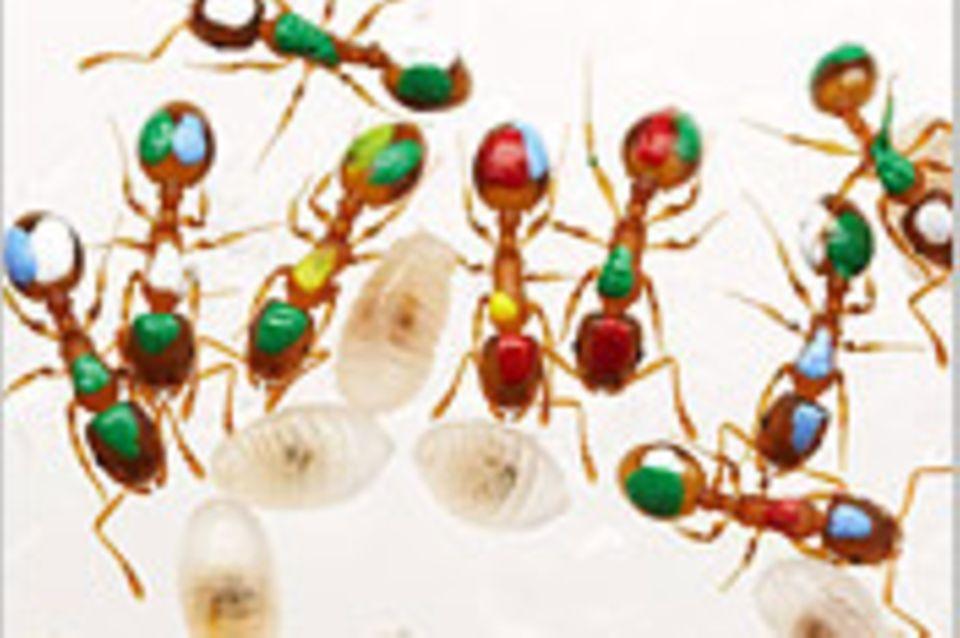 Biologie: Ameisen sind Alleskönner