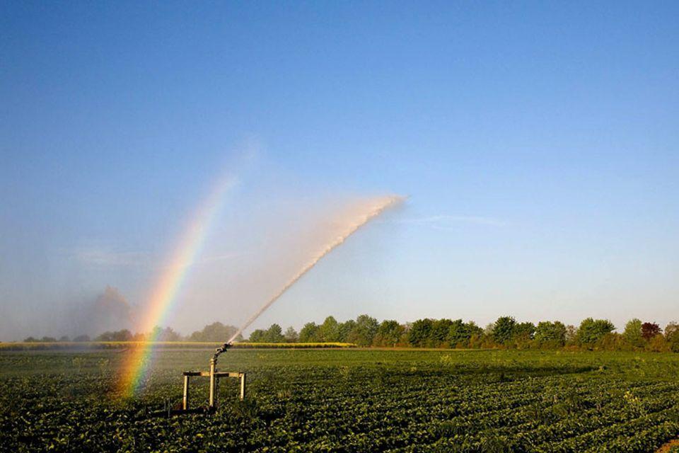 Bewässerung eines Erdbeerfeldes bei Süßenborn