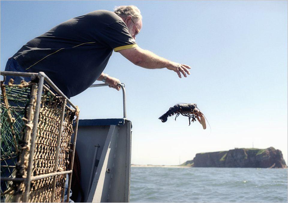 Hummer über Bord: Vor der Küste Helgolands entlässt der Biologe Michael Janke einen Hummer in die Freiheit