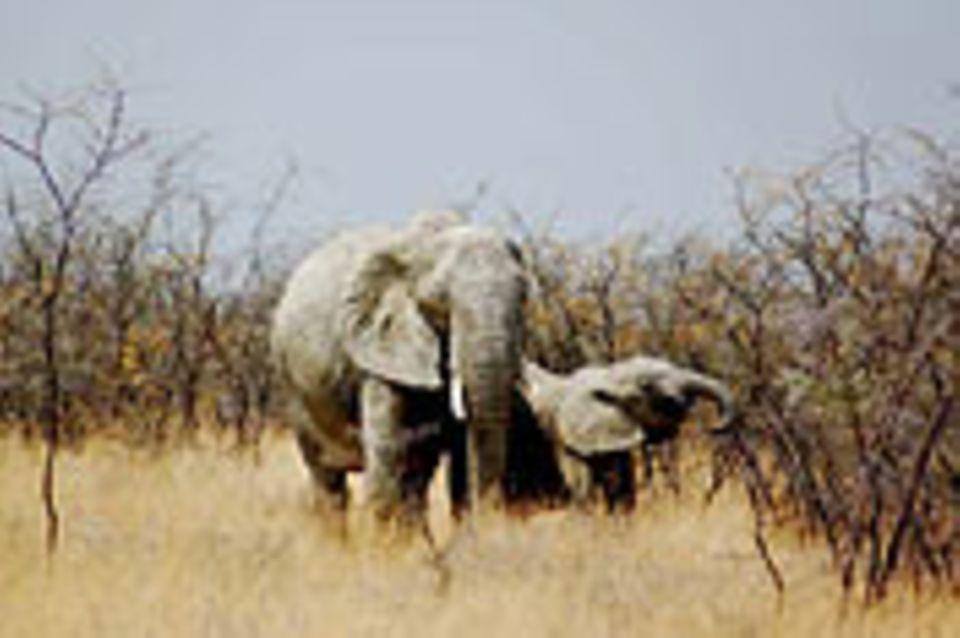 Schiebepuzzle: Nr. 224: Elefantenmutter mit Kind