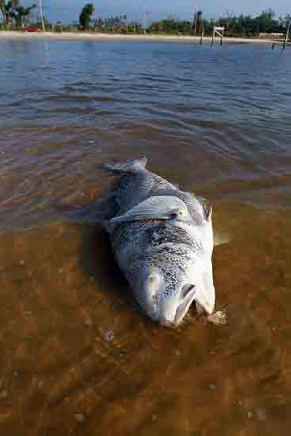 Unzählige Tiere sind bereits verendet. Darunter auch zahlreiche Fische