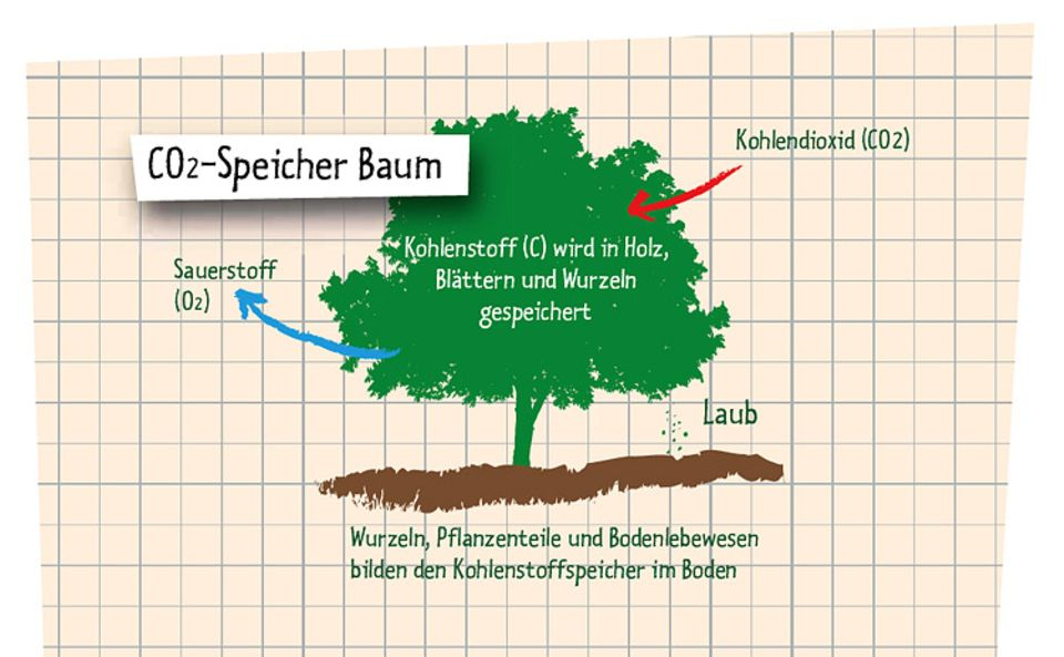 Naturschutz: Bäume speichern CO2 und wandeln es in Sauerstoff um