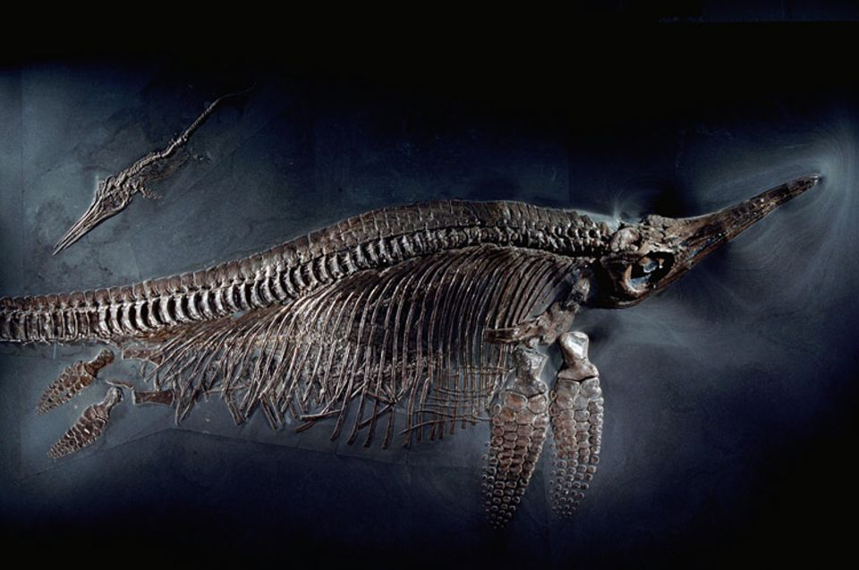 Ein Ichthyosaurier-Weibchen mit einem Jungtier. Unter den Rippen der Mutter sind fünf ungeborene Junge zu erahnen