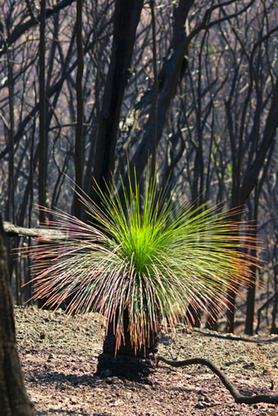 Der Grasbaum braucht den Rauch des Feuers, um sich vermehren zu können.