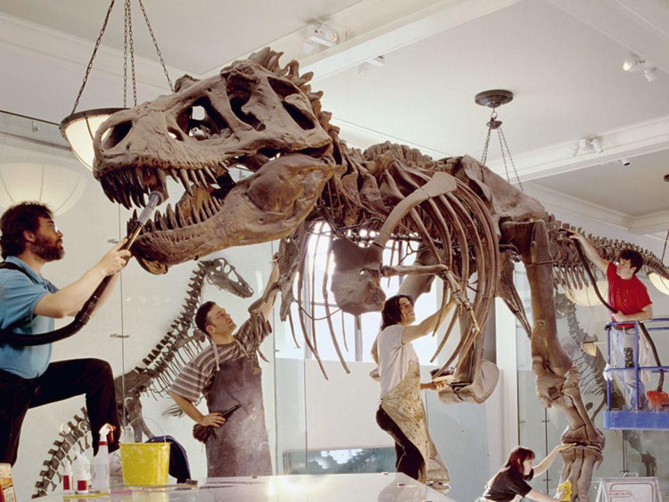 Mit ihren langen, stahlharten Zähnen, die 15 Zentimeter aus dem Kiefer ragten, bissen die Raubsaurier sogar Knochen durch. Die Säbelform der Beißer verhinderte, dass ihnen die Beute wieder entglitt