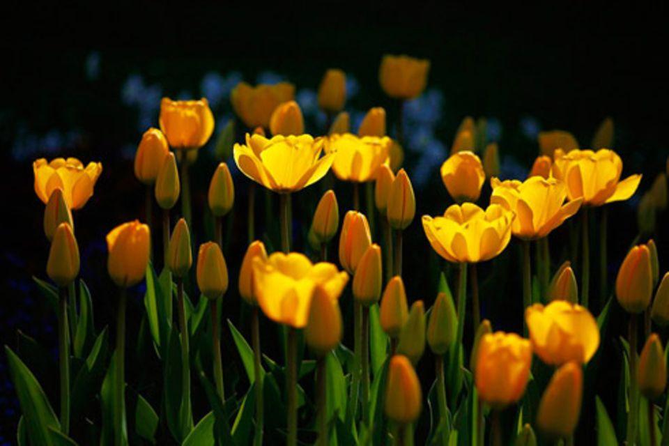 Schiebepuzzle: Nr. 252: Tulpen