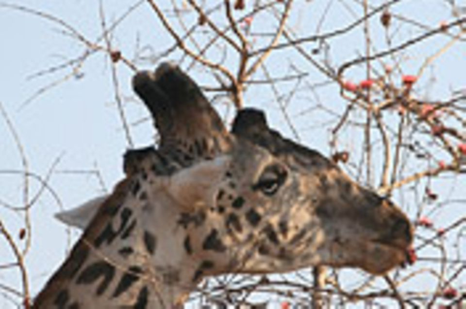 Schiebepuzzle: Nr. 253: Giraffe