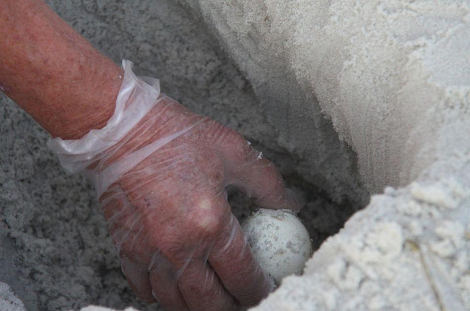 Tierschutz: Die Schale der Eier ist kaum dicker als Pergamentpapier und dellt sich, als die Experten sie einzeln aus der Grube nehmen
