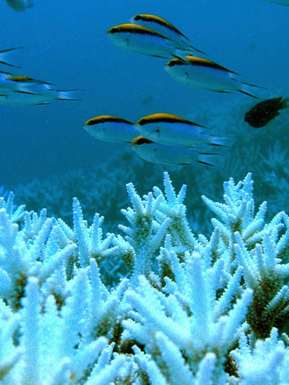Klimawandel: Korallenbleiche: Die Korallen stoßen die Algen ab und verlieren dadurch ihre Farbe.