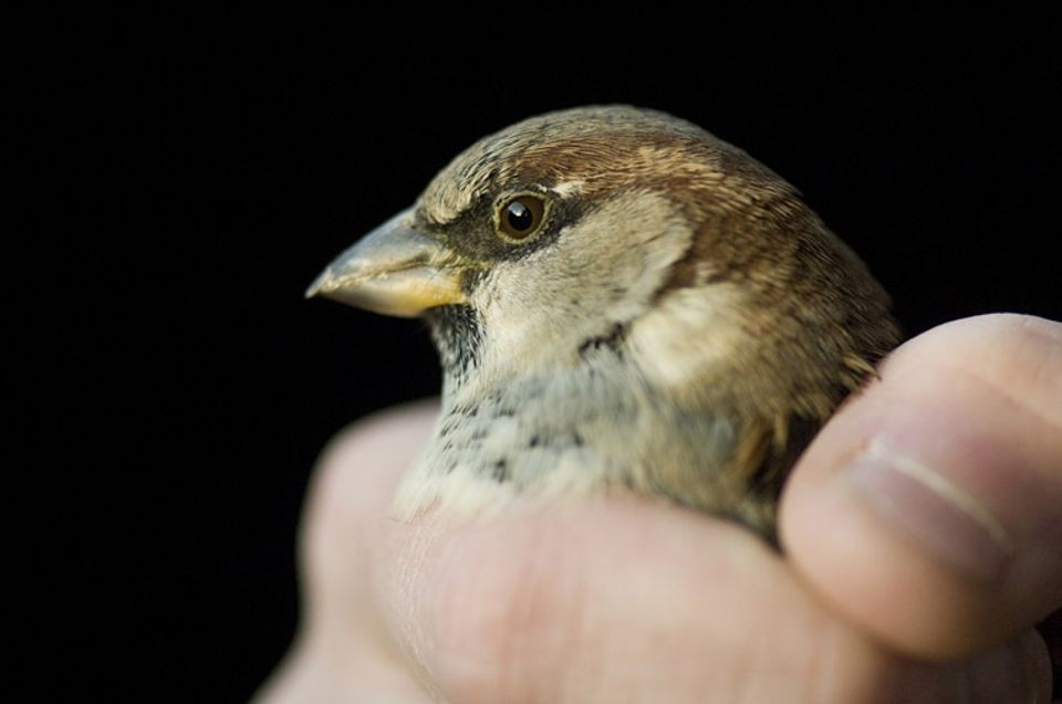 Redewendung: Ein Spatz in der Hand ist besser als eine Taube auf dem Dach