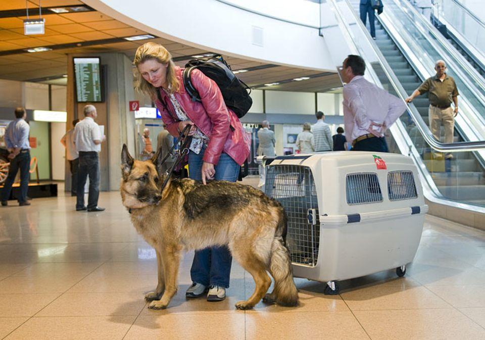 Fliegen: Auch dieser Hund muss am Flughafen Abschied von Frauchen nehmen. Während seine Besitzerin in der Kabine fliegt, reist er im Frachtraum