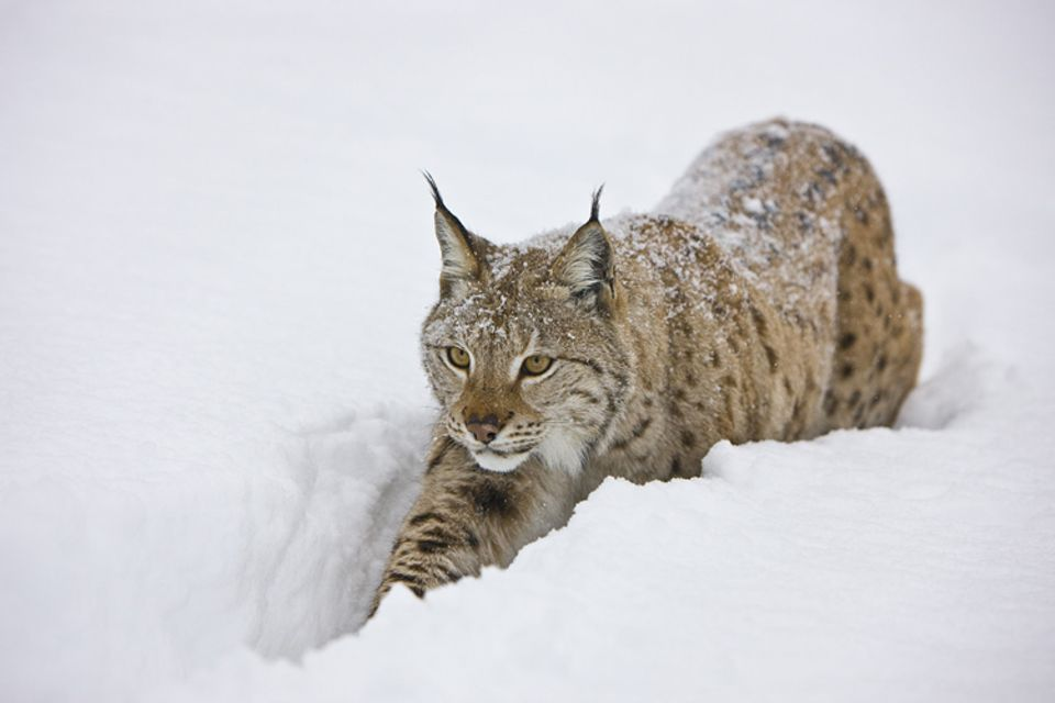 Tiertext: Ein Luchs auf großer Reise