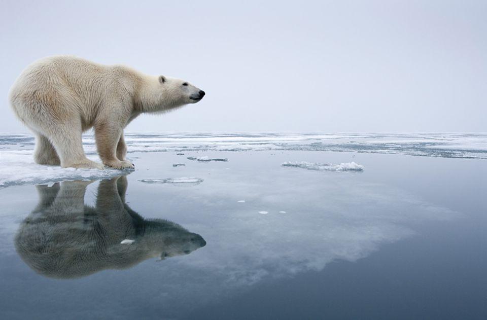 Interview: Ikone des Klimawandels: Eisbär auf Eisscholle