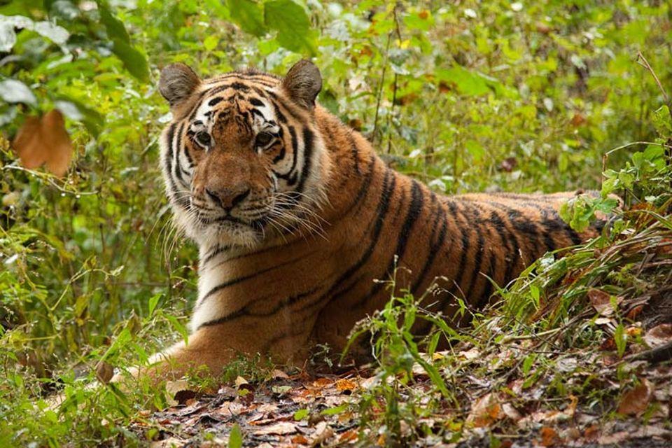 """Artenschutz: Schutzgebiete für Amur-Tiger: """"Historischer Moment für den Artenschutz"""""""