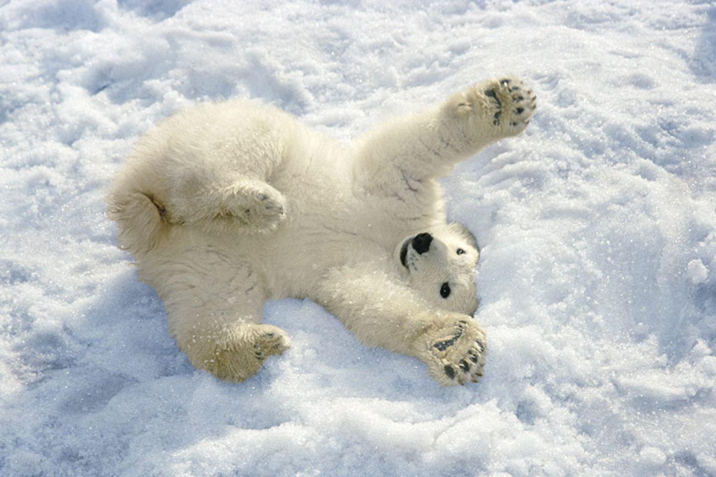 Tierkinder: Verspieltes Eisbärenbaby im Schnee