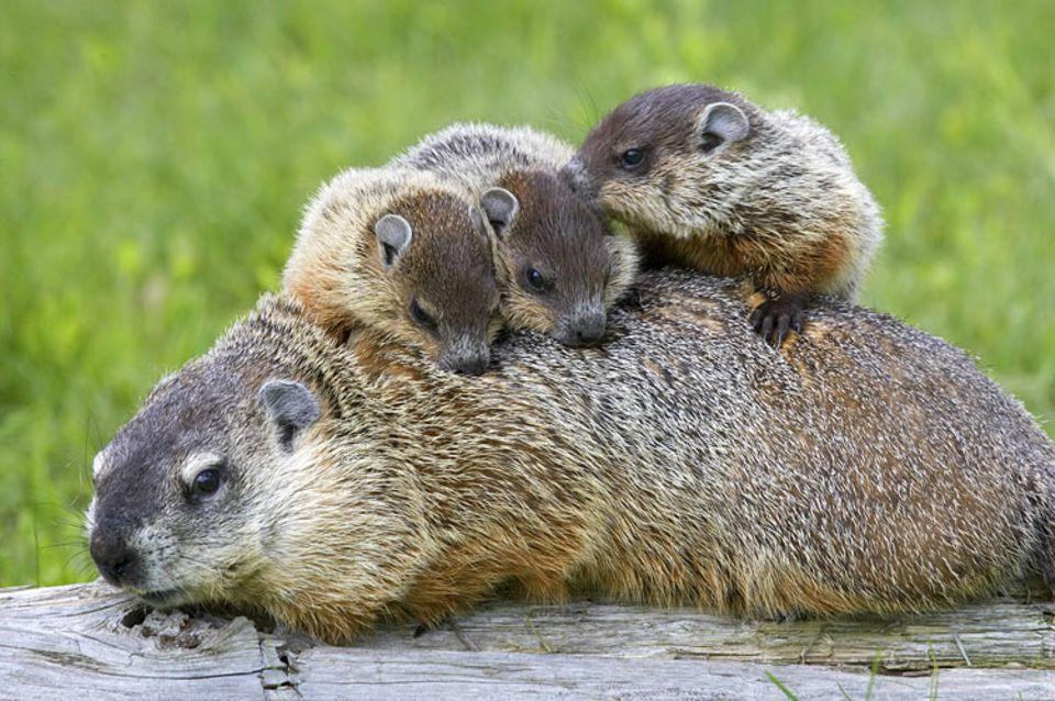 Tierkinder: Murmeltierkinder suchen Schutz bei ihrer Mutter