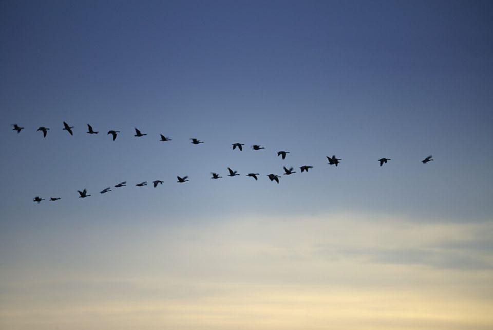 Natur: Kanadische Gänse fliegen in der typischen V-Formation in wärmere Regionen.