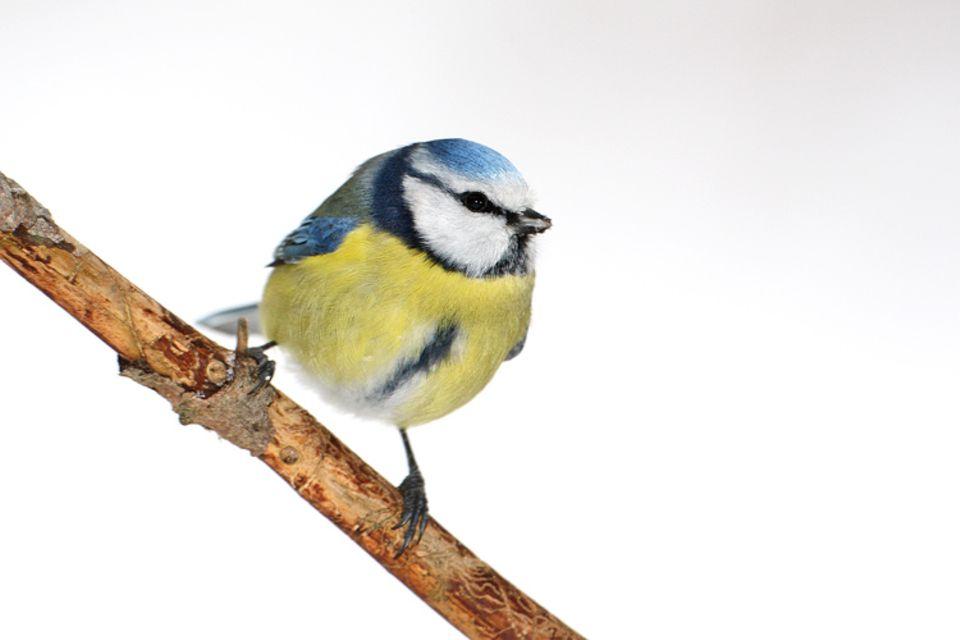 Natur: Die Blaumeise.