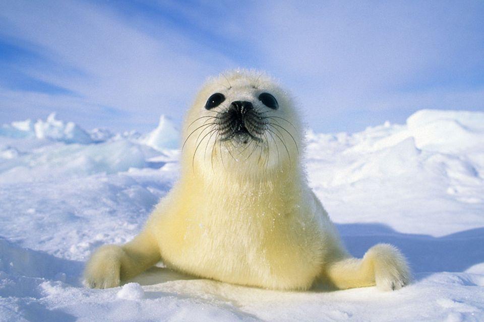 Tierkinder: Ein wenige Tage altes Robbenbaby erkundet seine Welt