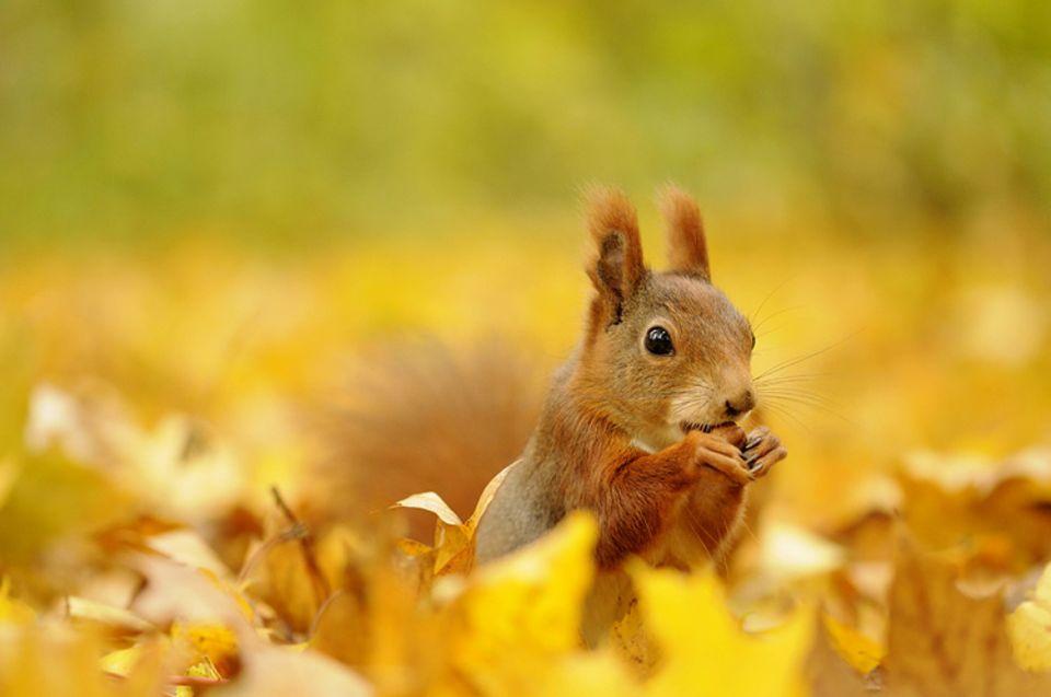 Tierkinder: Ein kleines Eichhörnchen auf der Suche nach Nüssen und Beeren